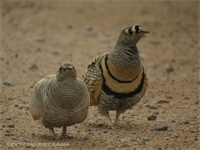 العقبة: تسجيل أحد الطيور النادرة في الأردن
