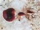 اكتشاف فطر بلون و طعم  القيقب وفطر بلون وطعم  النعنع البري في غابات برقش في لواء الكورة بمحافظة اربد بشمال الأردن .