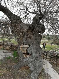 المركز الوطني للبحوث الزراعية يطلق خطة لإنقاذ شجرة