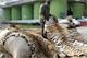 الاتجار غير المشروع بالحياة البرية يقوض قدرات الدول على مواجهة تفشي الأوبئة -